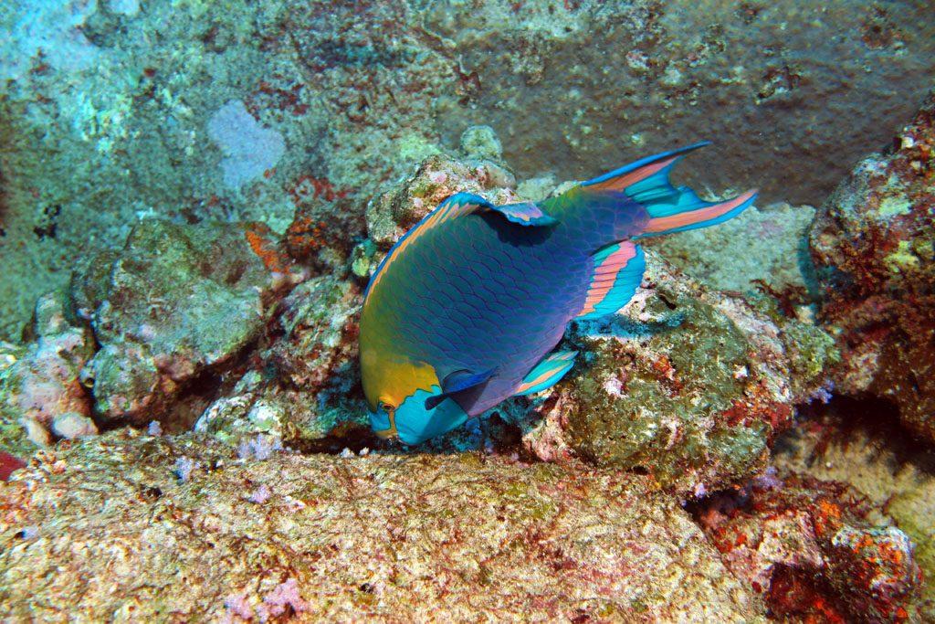 Green-Throated-Parrotfish-at-Ko-Tachai-Pinnacles-diving-The-Similans-DPI-1096
