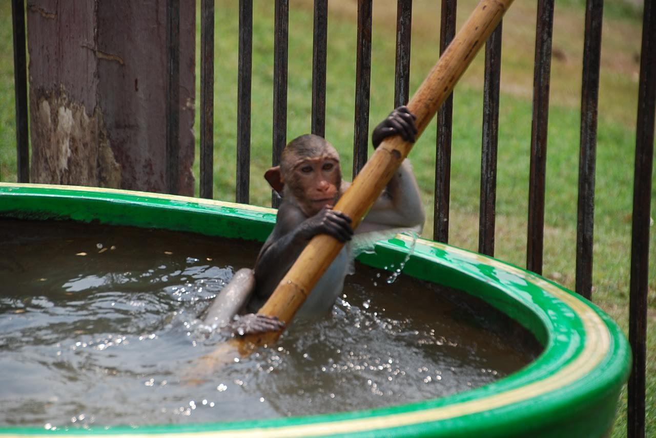 macaque monkey temple, Lopburi
