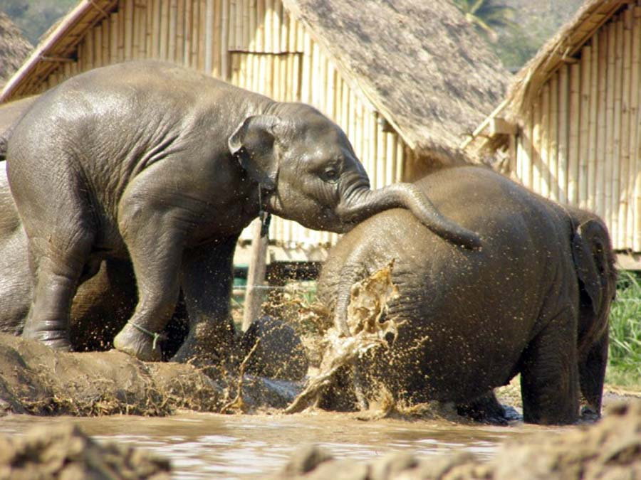 Baby elephants playing in the mud, elephant safari thailand