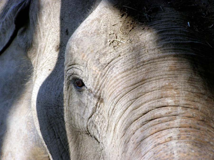 Wise Asian elephant, elephant safari thailand