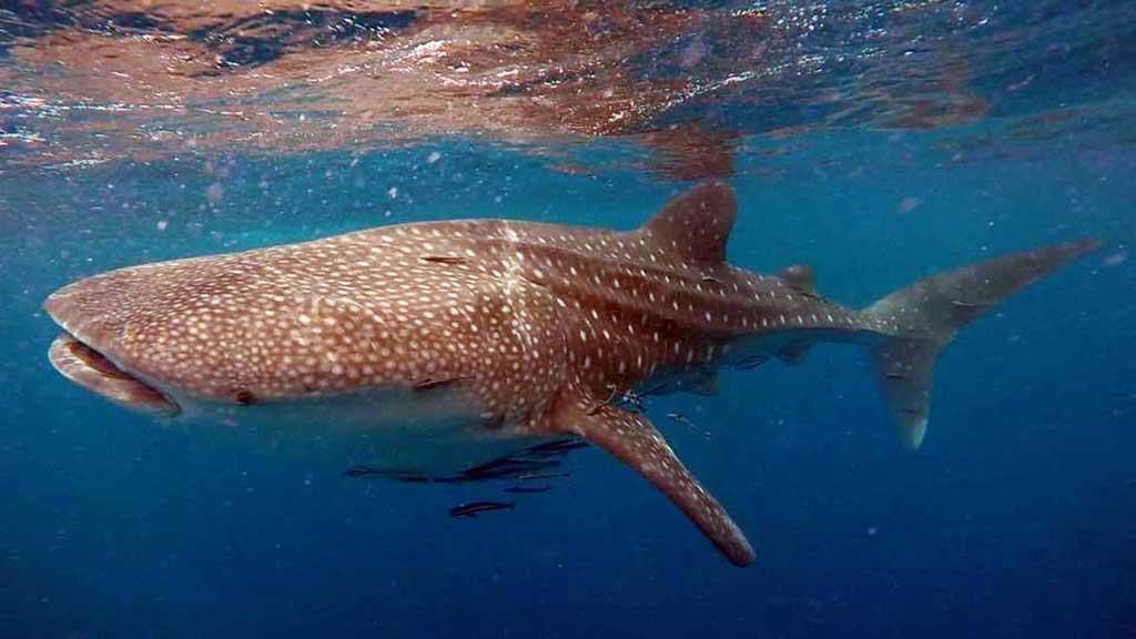Whale Shark - credit Sophia Geyer Koh Tao