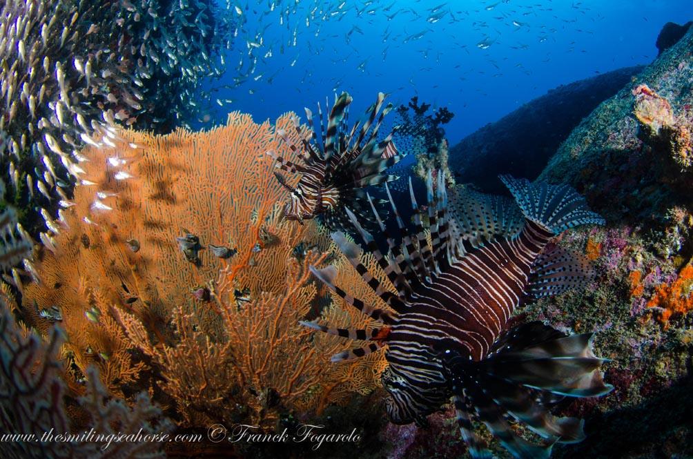 41-MV-Smiling-Seahorse-Liveaboard-credit-Franck-Fogarolo-Lionfish