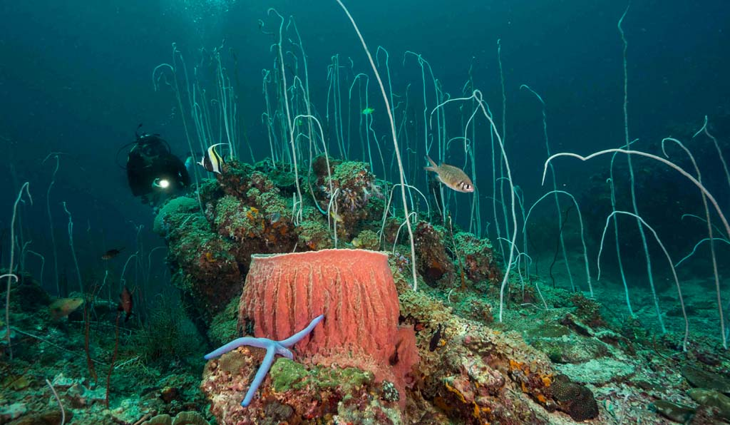 Koh Ha diver with whip coral credit Pete McGee