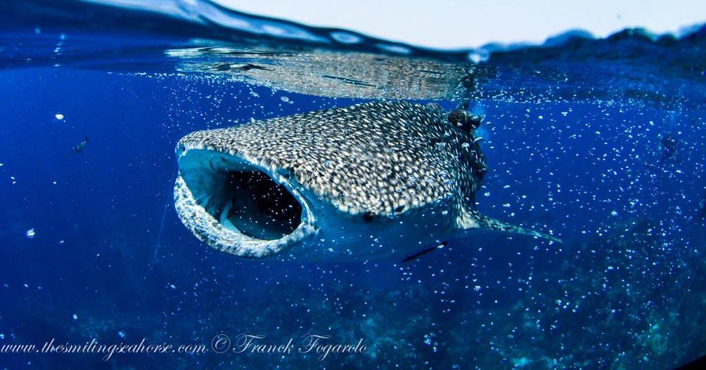21-MV-Smiling-Seahorse-Liveaboard-credit-Franck-Fogarolo-Whaleshark