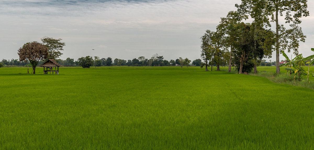 Rice_farming_in_Sukhothai