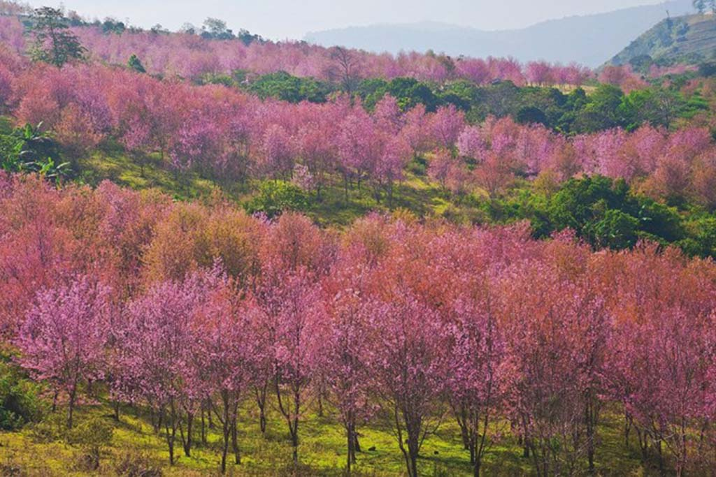 Cool-Season-Activities-Thailand's-Cherry-Blossom-Festival-2-resize